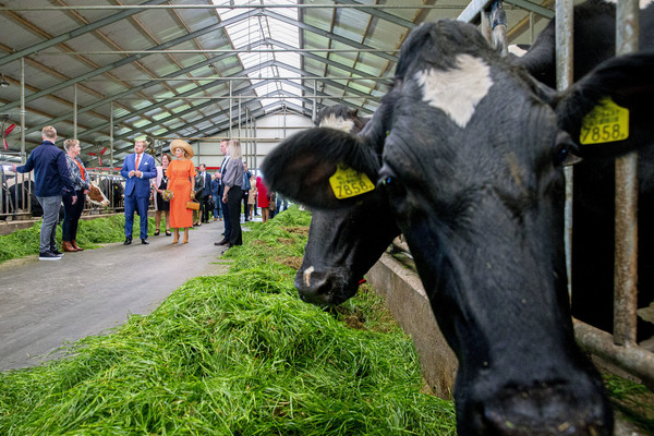 King Willem-Alexander Of The Netherlands And Queen Maxima Of The Netherlands Visit Friesland Region [bovine,dairy cow,working animal,grass,livestock,snout,organism,tree,plant,cow-goat family,willem-alexander of the netherlands,queen,maxima of the netherlands,king,tree,snout,visit friesland region,cheese farm,dairy farm,maxima of the netherlands,dairy cattle,ox,dairy,tree,dairy product,snout]