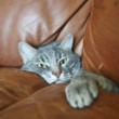This cat, now one with the leather sofa