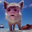Pigs on Vacation