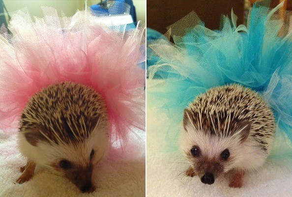 IMPORTANT: The Puppy Bowl's Hedgehog Cheerleaders Will Be Wearing Tutus